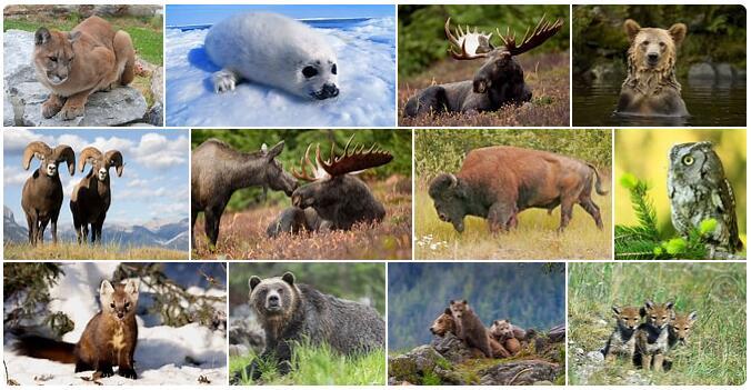 Canada Wildlife