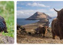 Faroe Islands Wildlife