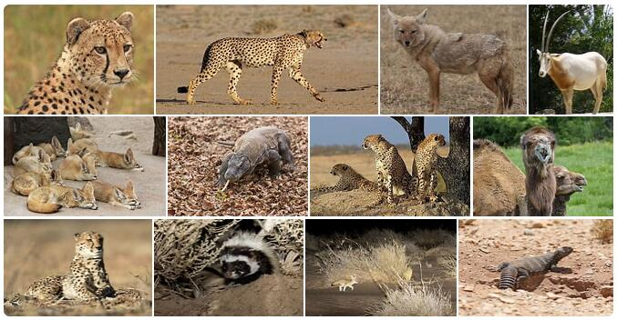 Western Sahara Wildlife